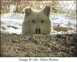 "Wolves in pens at Jack and Mary Lynch's wolf preserve in Emigrant, MT. This is a screen shot from the documentary ""Wolf Man, Wolf Wish."""