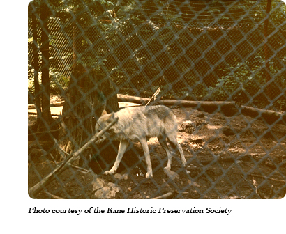 "A wolf at Jack Lynch's ""Loboland USA"" wolf park in Gardiner, WA in 1974"