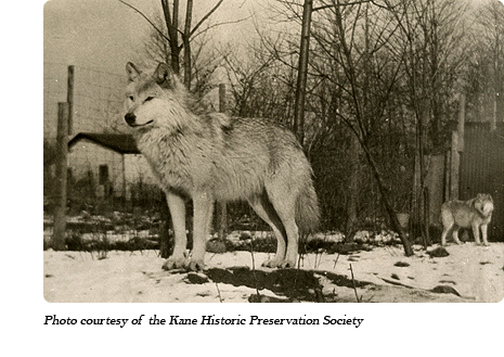 Wolves at Dr. McCleery's first lobo wolf park within the town limits of Kane, PA (1921-1929)