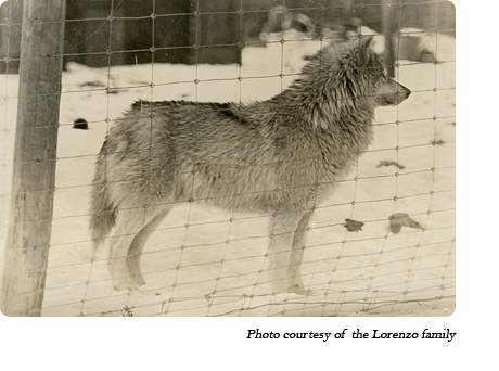 A wolf at Dr. McCleery's first lobo wolf park within the town limits of Kane, PA (1921-1929)