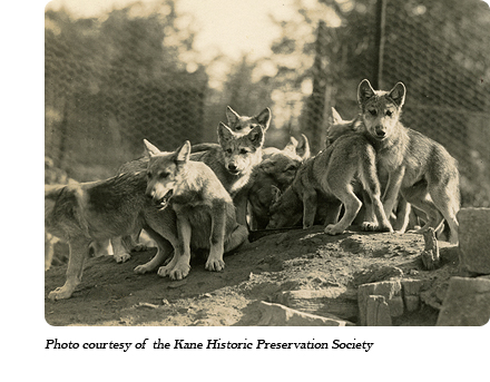 Wolf pups at Dr. McCleery's first lobo wolf park within the town limits of Kane, PA (1921-1929)