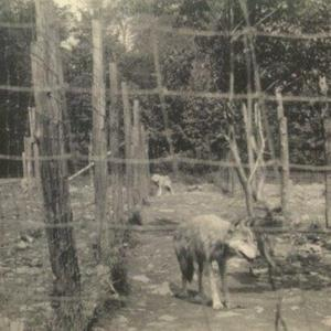 Two Wolves in a Pen at the Lobo Wolf Park in Kane [Photograph]