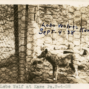Lobo Wolf at Kane Pa. 9-4-38 [Postcard]