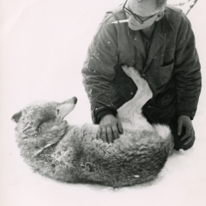 Jack Lynch Sedating a Wolf at the Lobo Wolf Park near Kane [Photograph]