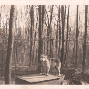 Wolf Standing on Box [Postcard]