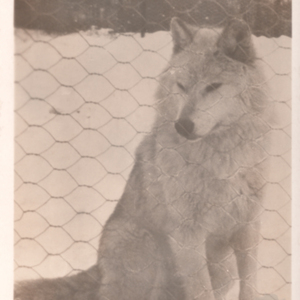 Wolf Sitting at Dr. McCleery's Lobo Wolf Park [Postcard]