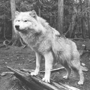Wolf at Loboland in Gardiner, WA [Photograph]