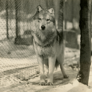 A Wolf at the Lobo Wolf Park near Kane [Photograph]