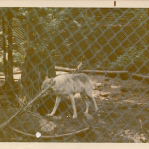 Wolf in Pen at Loboland USA [Photograph]