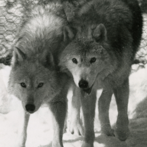 Three Wolves at the Lobo Wolf Park near Kane [Photograph]