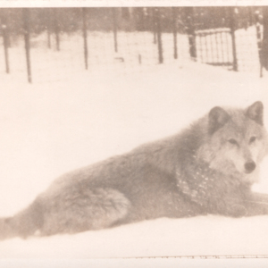 Wolf Lying in the Snow at Dr. McCleery's Lobo Wolf Park [Postcard]