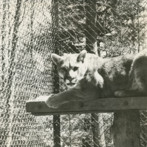 Mountain Lion at the Lobo Wolf Park near Kane [Photograph]