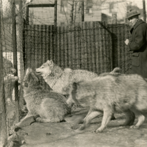Dr. McCleery in a Pen with Wolves Fighting Through the Wire at the Lobo Wolf Park in Kane [Photograph]