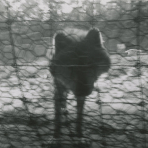 wolf staring through fence.jpg