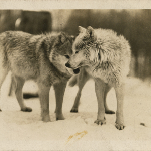 Two Wolves at the Lobo Wolf Park in Kane [Postcard]