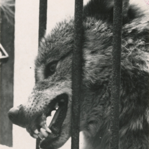 One Lobo Greeted Lynch by Extending its Muzzle Through the Gate of its Pen [Photograph]