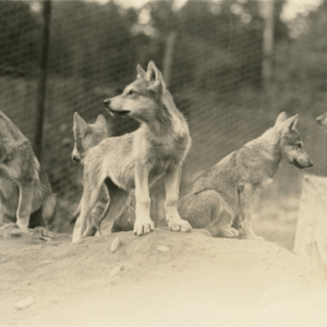 Five Wolf Pups at the Lobo Wolf Park in Kane [Photograph]