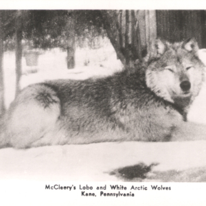 McCleery's Lobo and White Arctic Wolves - Kane, Pennsylvania - Wolf Lying Down [Postcard]