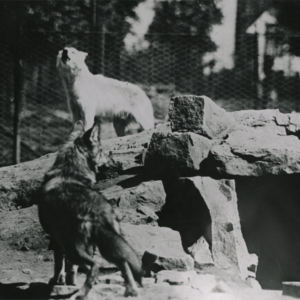 Two Wolves Outside a Rock Den at the Lobo Wolf Park [Photograph]