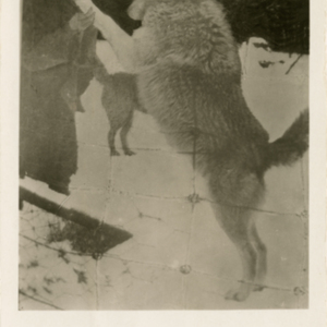Dr. McCleery with a Jumping Wolf at the Lobo Wolf Park in Kane [Postcard]
