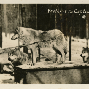 Brothers in Captivity [Postcard]