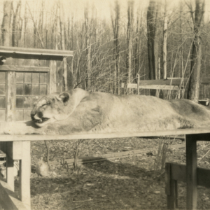 Dead Mountain Lion which Killed Claude Mollander Jr.'s Dog [Photograph]
