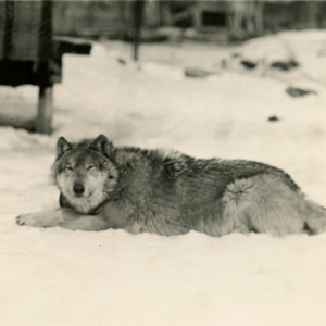 Wolf Lying in the Snow [Photograph]