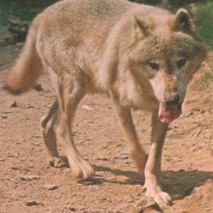 kec2013-newwolf4-postcard-retouched.jpg