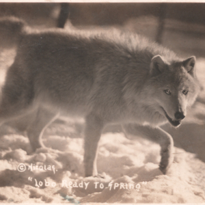 """Lobo Ready to Spring"" [Postcard]"