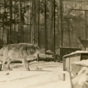 Wolves at the Lobo Wolf Park near Kane [Photograph]