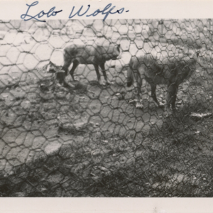 Lobo Wolves at the Lobo Wolf Park near Kane [Photograph]