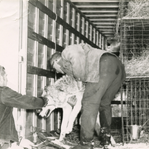 Jack Lynch and John Shetler Loading a Wolf into a Trailer [Photograph]