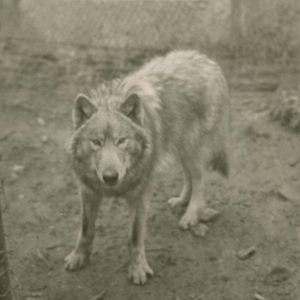 A Wolf in a Pen at the Lobo Wolf Park near Kane [Photograph]
