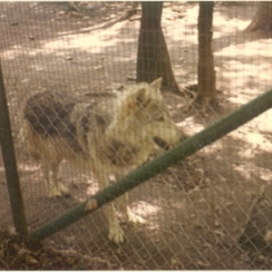 Wolf at the Lobo Wolf Park near Kane [Photograph]