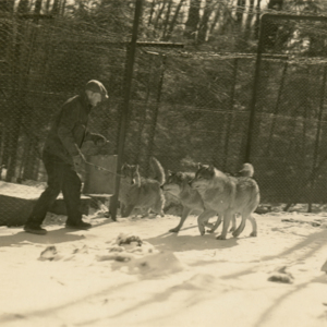 Earl Jones Feeding Two Wolves at the Lobo Wolf Park near Kane [Photograph]