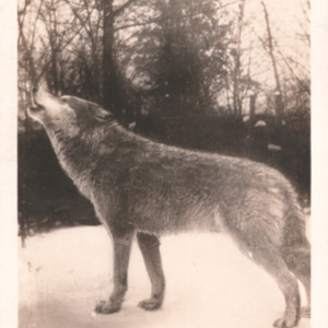 McCleery's Lobo and White Arctic Wolves - Kane, Pennsylvania - Wolf Howling [Postcard]