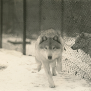 Big Wolf Running at the Lobo Wolf Park near Kane [Photograph]