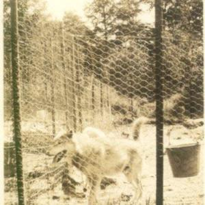 Wolf in a Pen at the Lobo Wolf Park in Kane [Photograph]