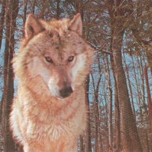 kec2013-newwolf2-postcard-retouched.jpg
