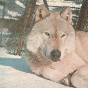 Canis Lupus Nubilus (Lobo or Buffalo Wolves) at the Lobo Wolf Park - Wolf Lying in the Snow [Postcard]