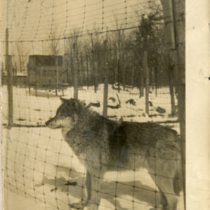 Wolf in a Pen Under a Sign at the Lobo Wolf Park in Kane [Photograph]