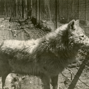 Wolf in a Pen at the Lobo Wolf Park near Kane [Photograph]