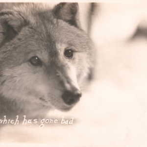 """Achilles"" A Wolf Which Has Gone Bad [Postcard]"