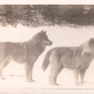 Two Wolves at Dr. McCleery's Lobo Wolf Park [Postcard]
