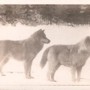 kec2013-twowolves-postcard-retouched.jpg