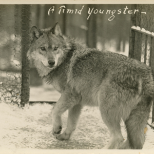 A Timid Youngster [Postcard]